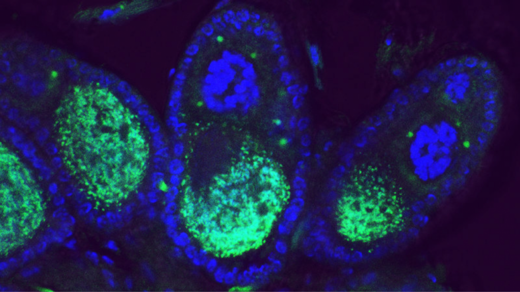 Wolbachia bacteria